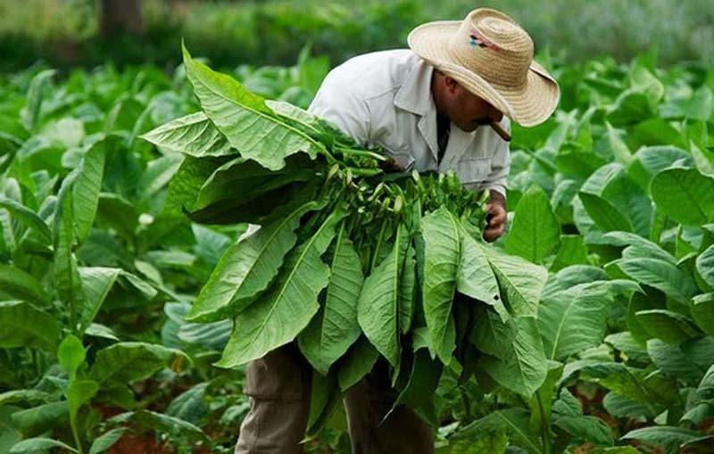 Cây thuốc lá được trồng nhiều ở các tỉnh phía Bắc