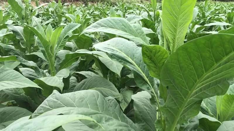 Vườn cây thuốc lá được trồng lại Vĩnh Phúc